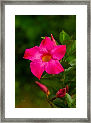 Hot Pink Dipladenia Framed Print by Karol Livote