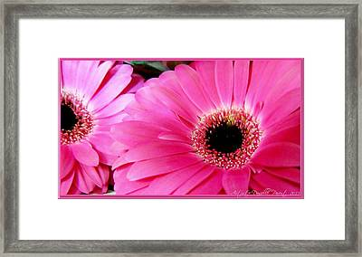 Hot Pink Gerber Daisies Macro Framed Print by Danielle  Parent