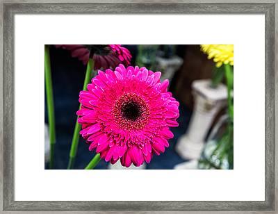 Hot Pink Gerber Daisy Framed Print