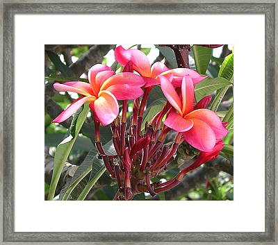 Hot Pink Plumeria Framed Print