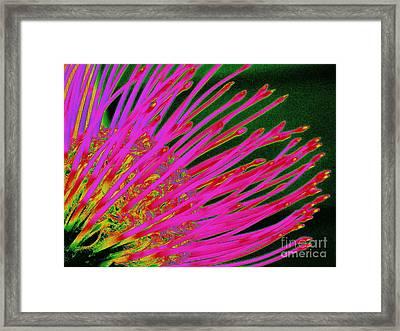 Hot Pink Protea Framed Print by Ranjini Kandasamy