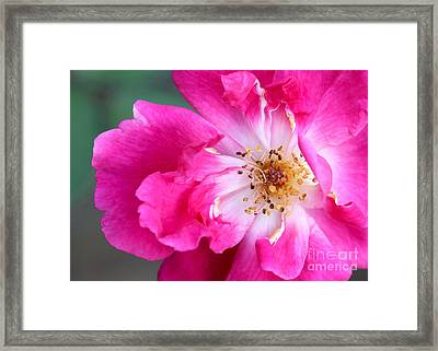 Hot Pink Rose Framed Print by Sabrina L Ryan