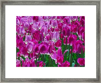 Hot Pink Tulips 3 Framed Print by Allen Beatty