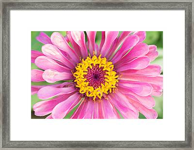 Hot Pink Zinnia Framed Print