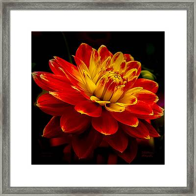 Hot Red Dahlia Framed Print