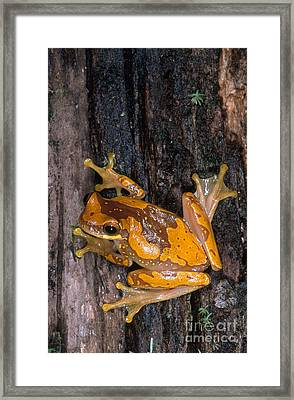 Hourglass Tree Frog Framed Print by Gregory G. Dimijian, M.D.