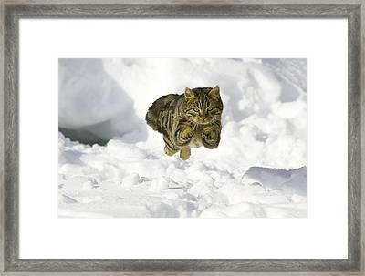 House Cat Male Jumping In Snow Germany Framed Print by Konrad Wothe