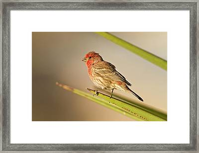 House Finch (carpodacus Mexicanus Framed Print by Larry Ditto