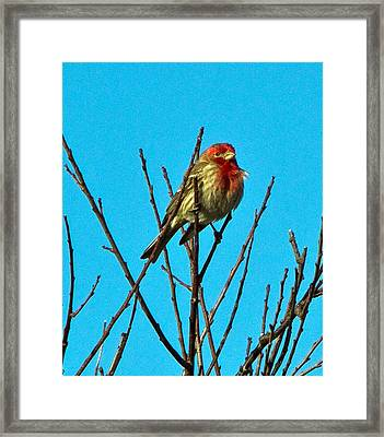 House Finch Framed Print by Constantine Gregory