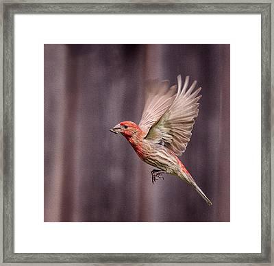 House Finch In Flight Framed Print