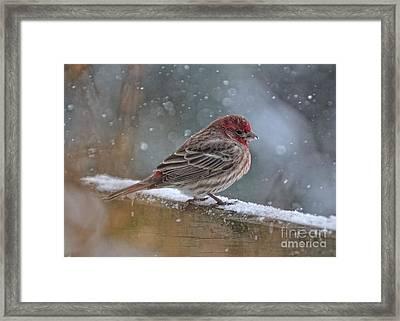 House Finch In Winter Framed Print by Pamela Baker