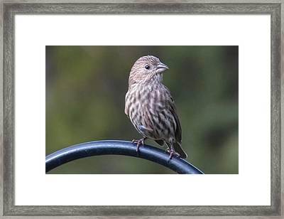 House Finch Framed Print by John Kunze
