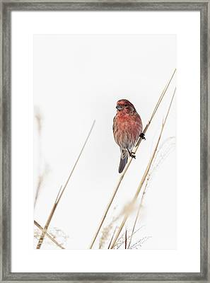 House Finch Male Framed Print by Bill Wakeley