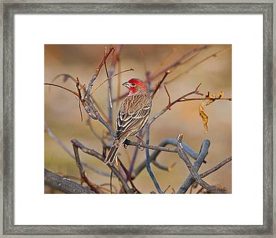 House Finch Singing His Song Framed Print by J Larry Walker