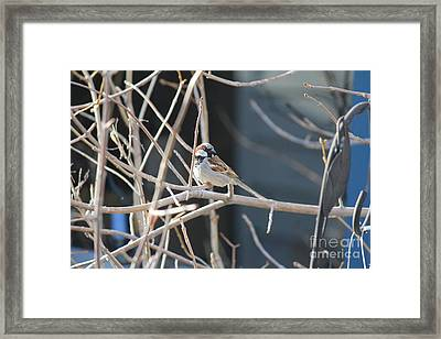 Framed Print featuring the photograph House Sparrow by Ann E Robson