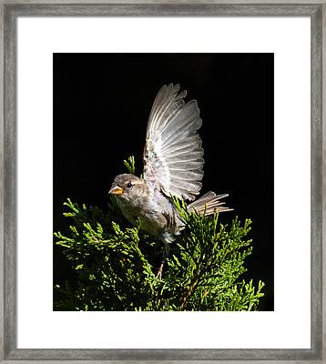 Framed Print featuring the photograph House Sparrow by David Lester