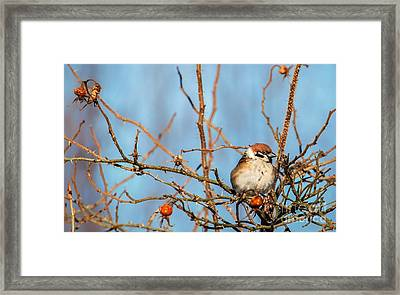 Framed Print featuring the photograph House Sparrow by Rose-Maries Pictures