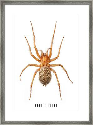 House Spider Framed Print