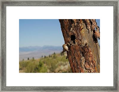 House Wren Feeding Its Young Framed Print by Tom Reichner