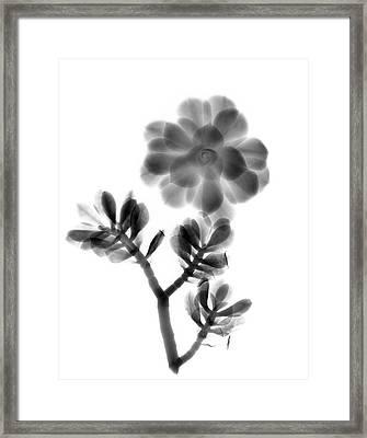 Houseleek And Foliage Framed Print by Albert Koetsier X-ray
