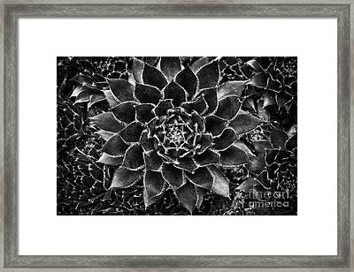 Houseleek Monochrome Framed Print by Tim Gainey