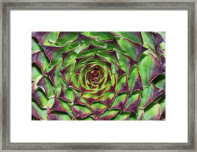 Houseleek (sempervivum Tectorum) Framed Print by Bruno Petriglia
