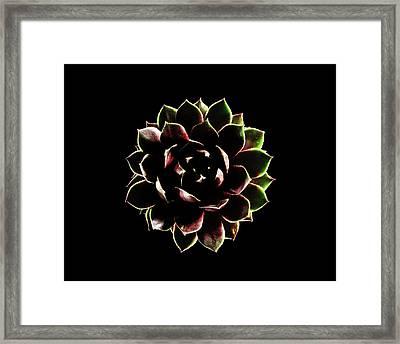 Houseleek (sempervivum Tectorum) Framed Print