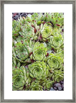 Houseleek (sempervivum 'tip Top') Framed Print by Adrian Thomas/science Photo Library