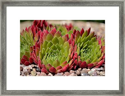 Framed Print featuring the photograph Houseleeks Aka Sempervivum From The Side by Scott Lyons