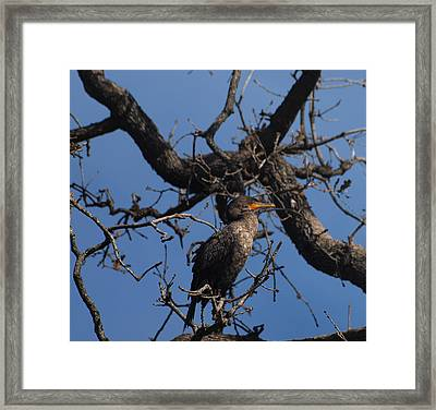 Houston Wildlife Double Crested Cormorant  Framed Print by Joshua House