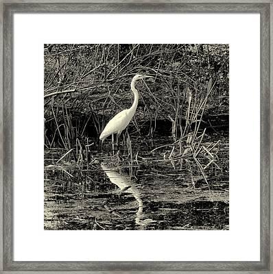 Houston Wildlife Great White Egret Black And White Framed Print by Joshua House