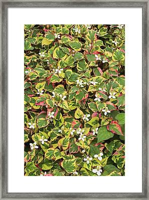 Houttuynia Cordata Chameleon Framed Print