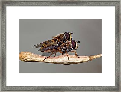 Hover Flies Mating Framed Print by Dr. John Brackenbury/science Photo Library