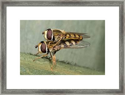 Hover-flies Framed Print by Nigel Downer