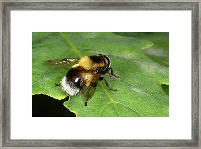 Hover-fly Framed Print by Nigel Downer