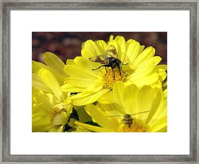 Hoverfly Framed Print by Christina Rollo