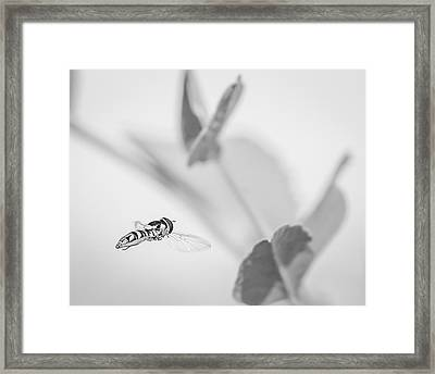 hoverfly in the pea patch B/W Framed Print by Len Romanick