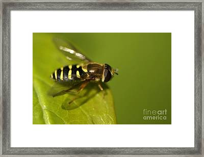 Hoverfly On A Leaf Framed Print by Sharon Talson