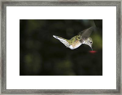 Hovering Beauty Framed Print