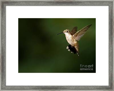Hovering Hummingbird  Framed Print