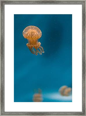 Hovering Spotted Jelly 2 Framed Print by Scott Campbell