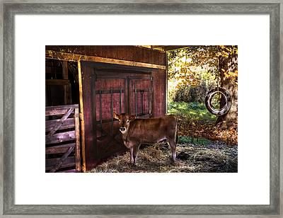 How Now Brown Cow? Framed Print by Debra and Dave Vanderlaan