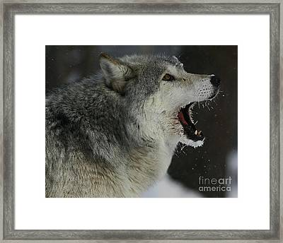 Howling Gray Wolf  Framed Print by Inspired Nature Photography Fine Art Photography