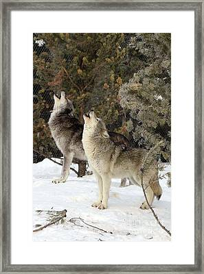 717a Howling Wolves  Framed Print