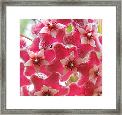 Hoya  Framed Print