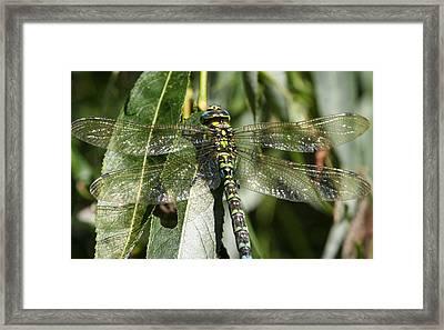 Huge Dragon-fly In Detail. Framed Print