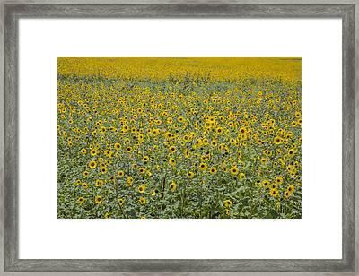 Huge Wild Sunflower Colony Framed Print
