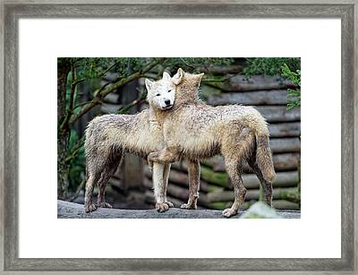 Hugging Arctic Wolves Framed Print by Picture By Tambako The Jaguar