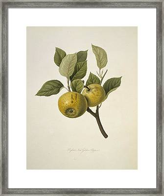Hughes's New Golden Pippin Apple (1818) Framed Print