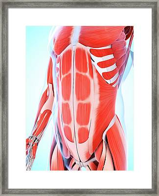 Human Abdominal Muscular System Framed Print